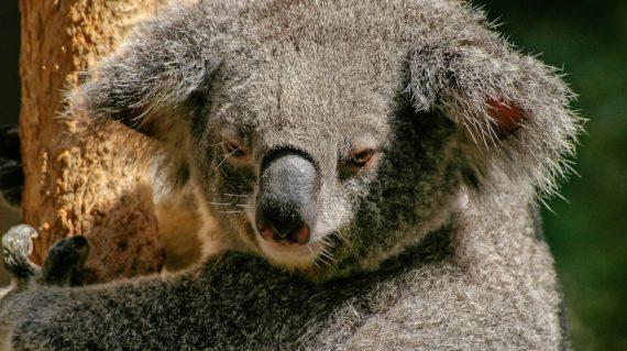 koala-446876_1920