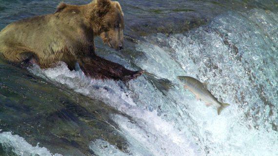 kodiak-brown-bear-2042153_1920
